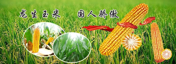 优质玉米种子