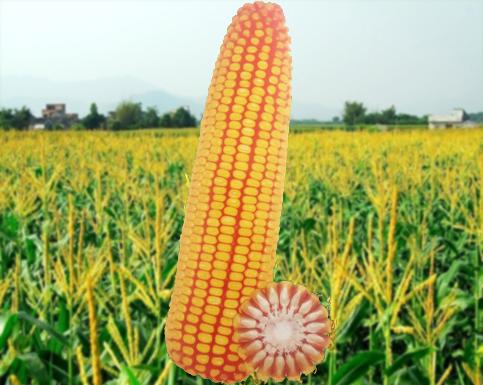 优质玉米种子龙生16号品种鉴定