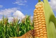 山西优质玉米种子代理