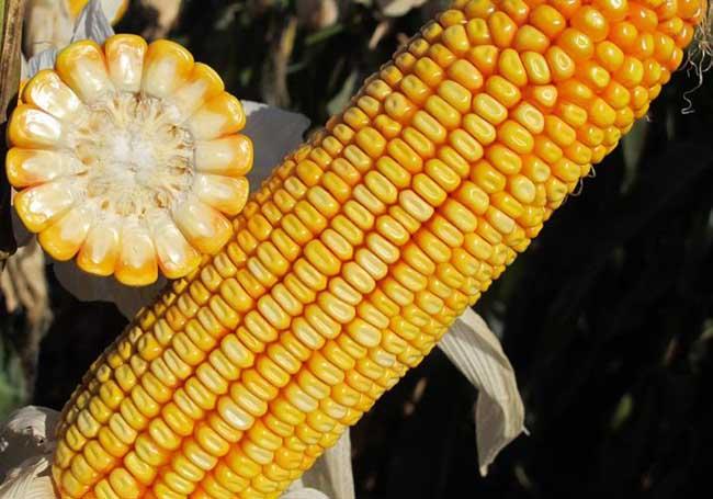 玉米品种知识